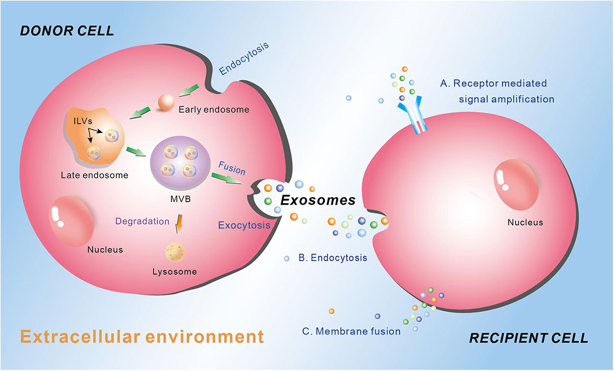 How Are Exosomes Formed